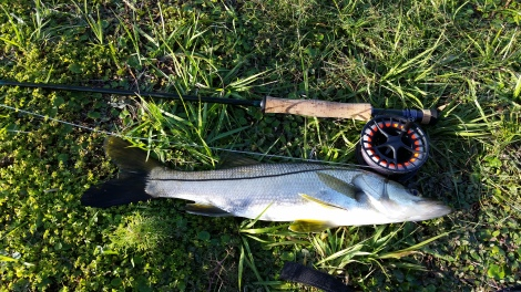 Snook (32)